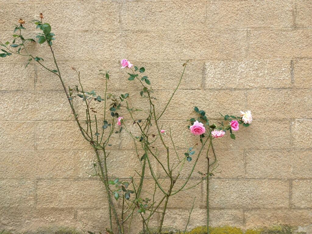 Le rose rampicanti (anche in autunno!) nel borgo di Châteauneuf-en-Auxois.