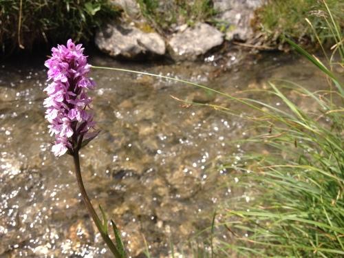 Orchidea selvatica, Bisse du Tsittoret @oltreilbalcone